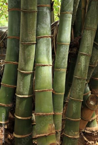Papiers peints Bambou Troncs de bambous géants