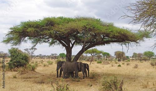 Foto op Plexiglas Afrika Trois éléphants sous un arbre dans la savane Africaine