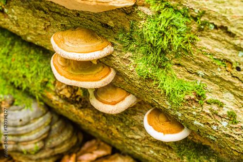 Fotografia, Obraz  Group of polypore on dead beech tree.