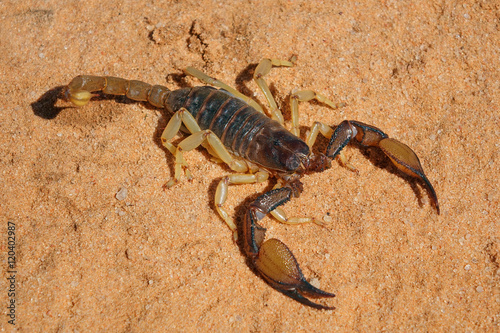 A poisonous scorpion (Parabuthus spp.), Kalahari desert, South Africa .
