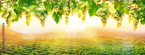 Fotografia  Viticulture At Sunset - White Grapes Hanging In Vineyard
