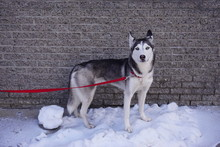 A Grey And White Siberian Husky Dog On A Red Leash In The Snow