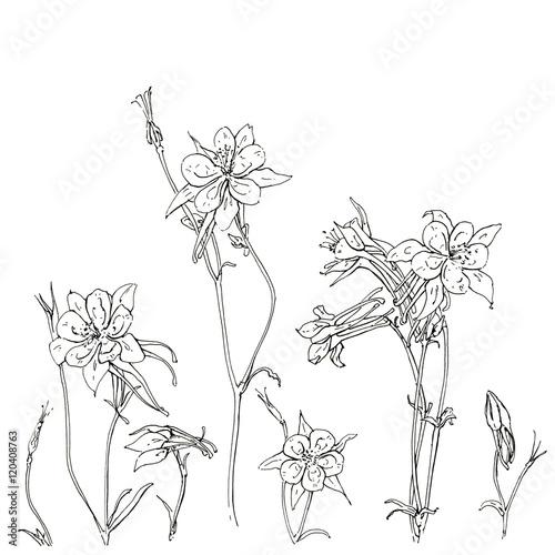 Photo hand drawn graphic flower Aquilegia columbine on white backgroun