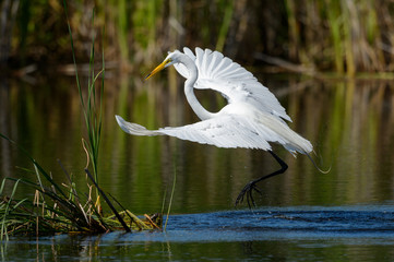 Great egret landing on a cattail island