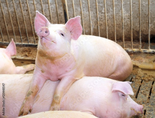 Fotografie, Tablou  fat pig leaning over the back of another pig
