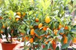 several hanging kumquats on the  fruit tree