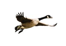 Vogel, Kanadagans Im Flug - Is...