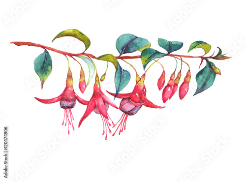 Fotografie, Tablou Hand-drawn watercolor floral illustration of the colorful vibrant pink fuchsia branch
