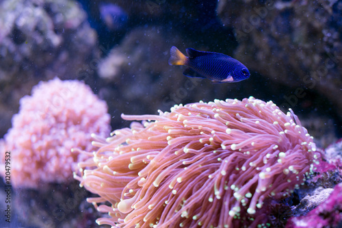 Tropical fish swim near coral reef  Underwater life  - Buy this