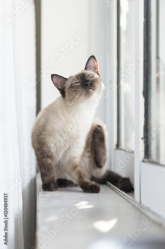 Valokuva  The cute Siamese cat