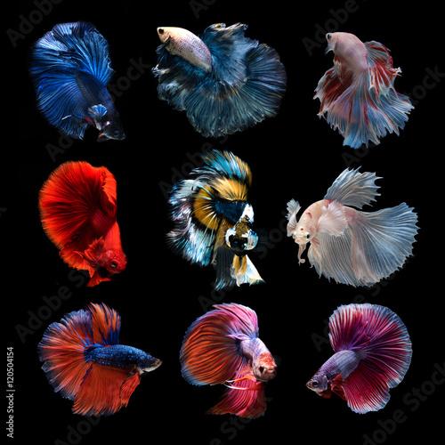 Siamese betta fish collection Canvas Print