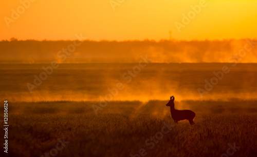 Spoed Foto op Canvas Ree Roe deer buck in sunrise backlight