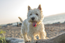West Highland White Terrier A ...