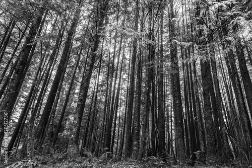 Trees in a Forest, Pacific Rim National Park Reserve, Vancouver Wallpaper Mural