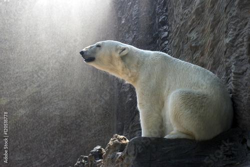 Poster Polar bear Polar Bear - Ursus maritimus