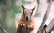 Surprised Red Fur Funny Squirr...