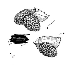 Mulberry Vector Superfood Drawing Set. Isolated Hand Drawn  Illu