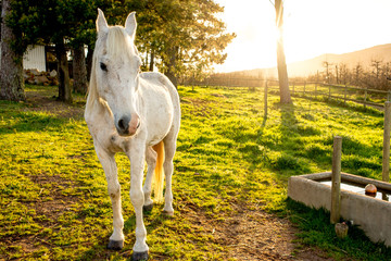 White Arabian Horse in Early Morning Sun.