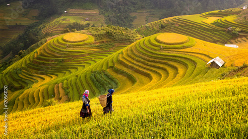 Foto op Aluminium Oranje Vietnam. Rice fields prepare the harvest at Northwest Vietnam