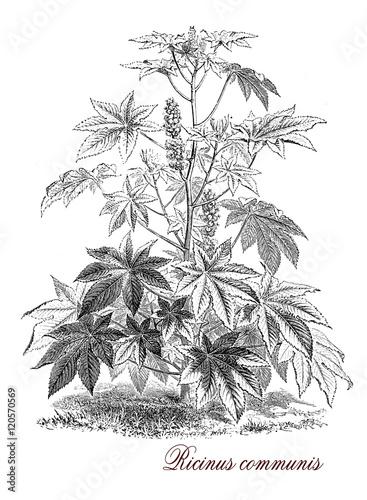 Foto  Ricinus communis, botanical vintage engraving