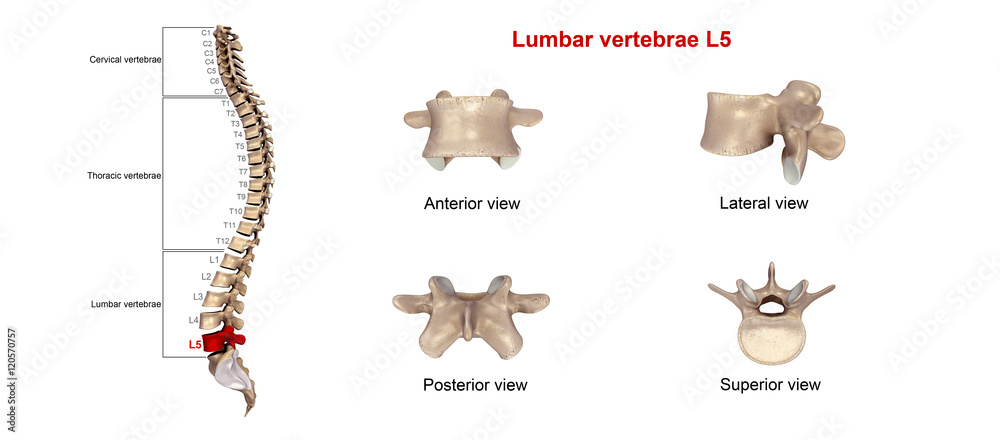 quiz lumbar vertebrae anatomy l1 to l5 - 1000×440