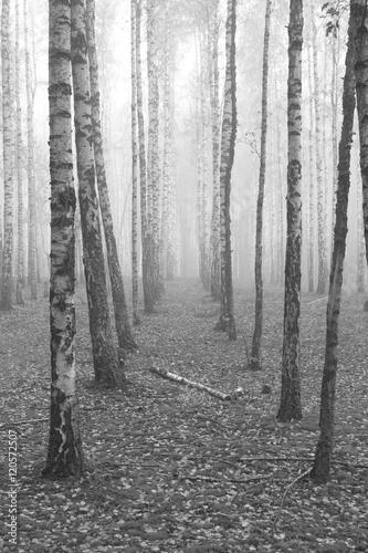 Foto-Lamellenvorhang - birch forest, black-white photo, autumn landscape (von juliasv)