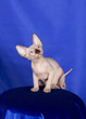 Sphynx cat posing in studio