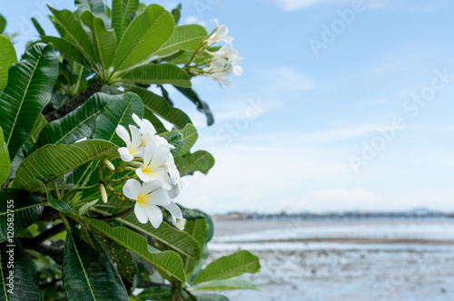 Wall Murals Plumeria frangipani flower, plumeria flower, white plumeria with blue sky background and blur of sea