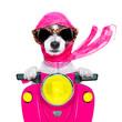 motorcycle  diva dog on summer