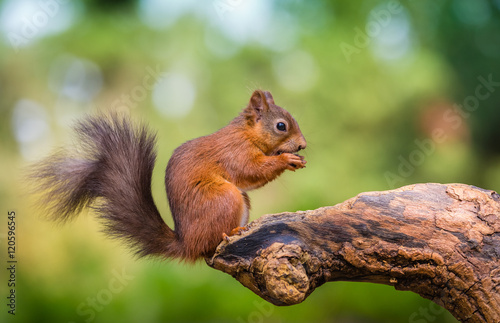 Photo sur Toile Squirrel Red squirrel in The County of Northumberland, England