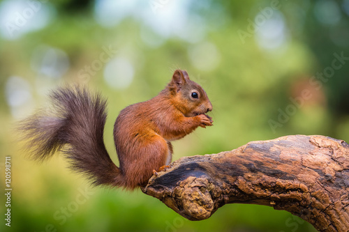 Fotografía  Red squirrel in woodland, County of Northumberland, England