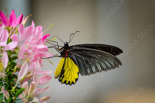 Foto auf Leinwand Schmetterling Zwartgele flinder op een roze bloem