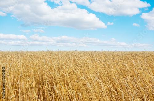 Fotobehang Cultuur golden wheat field