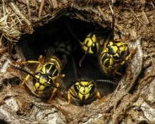 Southern Yellowjacket (Vespula Squamosa) Guarding Nest Hole Entrance In Lawn
