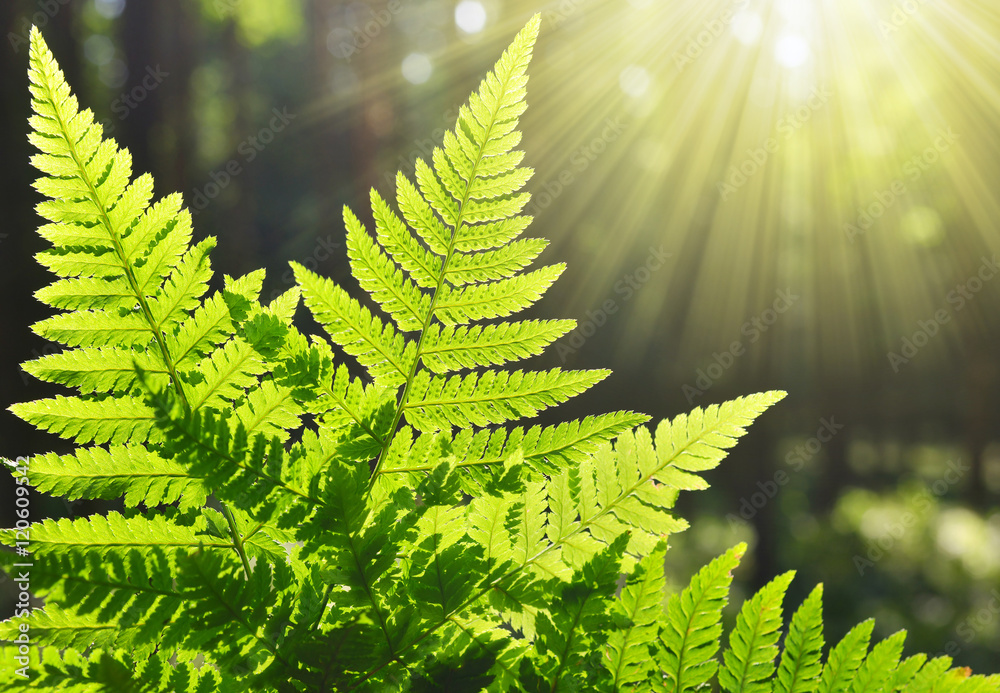 Fototapety, obrazy: Fern leaf in the forest
