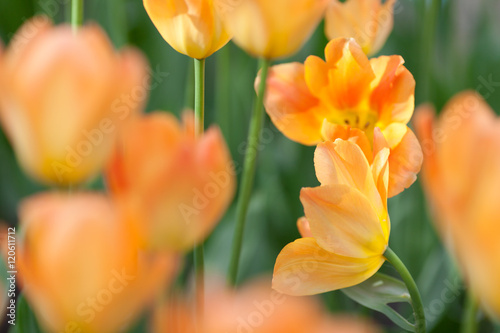 Garden Poster Tulip Meadow of orange tulips