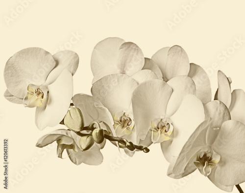 branch-of-white-orchids-on-a-white-background