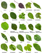 Set Of Green Leaves Of Trees A...