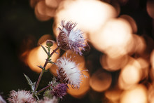 Steppe Russian Thistle Plant S...
