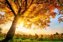 Schöner Baum Auf Weingarten Im Herbst, Mit Sonne Und Blauem Himmel