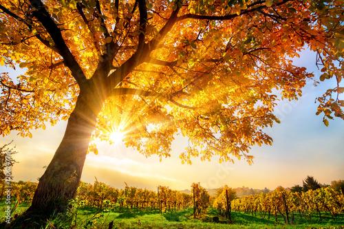 obraz lub plakat Schöner Baum auf Weingarten im Herbst, mit Sonne und blauem Himmel