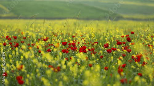Photo  Poppies among yellow flowers