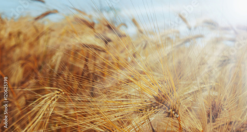Canvas Print barley field in sunrays