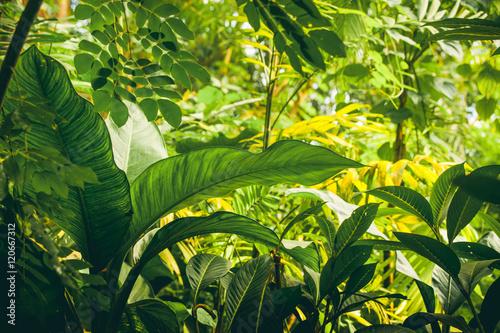 Fototapeta Jungle with tropical plants