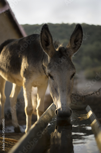 Donkey drinking at water trough