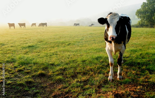 In de dag Koe Herd of cows grazing on a farmland in Devon, England