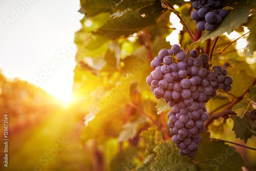 Photo sur Aluminium Vignoble Vineyards in autumn harvest