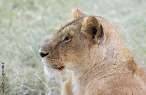 Fototapety, obrazy: Lioness in the Wilderness of Masai mara , Kenya  ,Africa