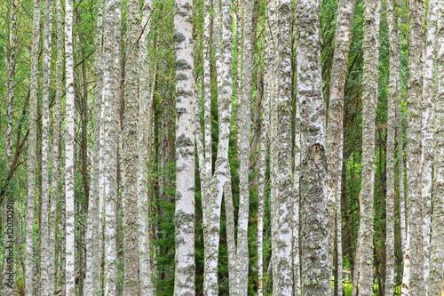 Garden Poster Birch Grove Birch tree trunks