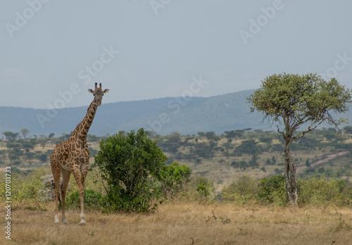 Girrafes in Masai mara Poster
